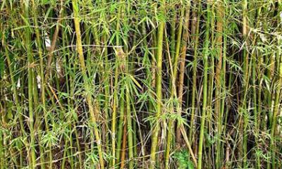 20090110135051-bambu.jpg