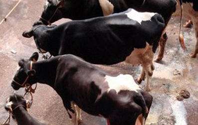 20090303135703-piel-de-vaca.jpg