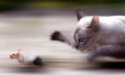 20110928181226-gato-cazando-un-raton-corriendo.jpg