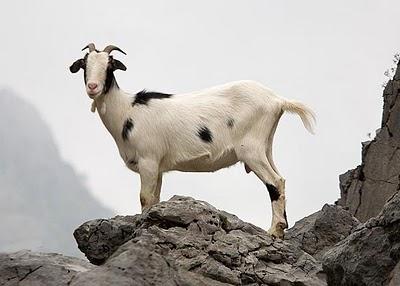 20111104175820-cabras.jpg