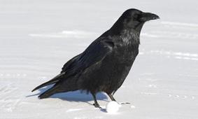 20130304184500-cuervo-en-la-nieve.jpg