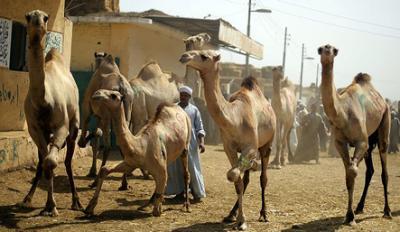 20150427092434-comer-camello.jpeg